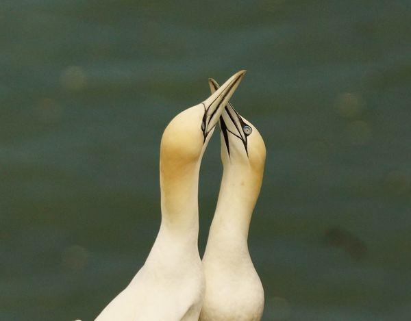 gannets with crossed beaks Beaks Crossed Birds On Cliff Top Eyes Open Gannets Mating Long Necks Sea Bokeh White Color Yellow Heads
