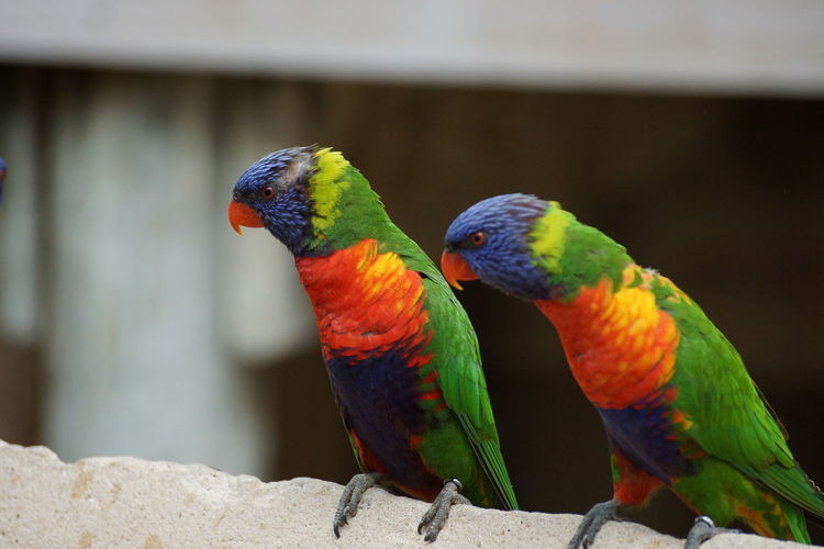 Close-up of rainbow lorikeets perching on retaining wall