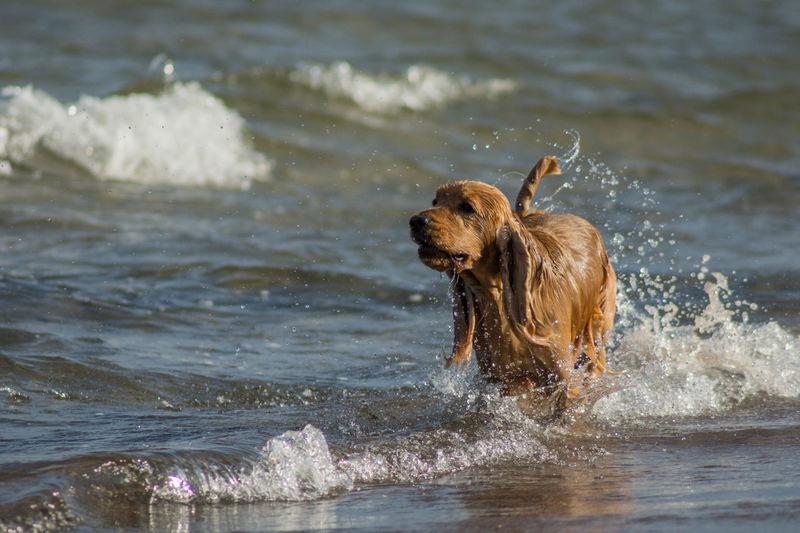 Nature Water Sea Dog Humans Best Friend Cocker Spaniel