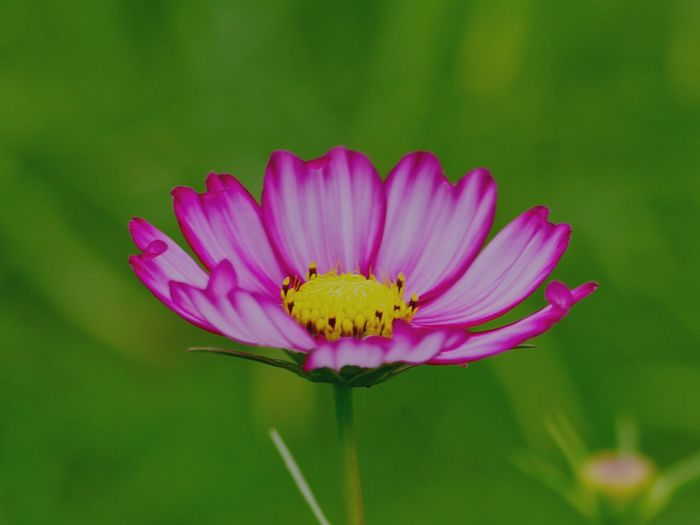 I'm Cosmos 秋桜 コスモス Cosmos Cosmos Flower Autumn Autumn Flowers Japanese Garden Japan Photography Flowering Plant Flower Plant Freshness Flower Head Petal Inflorescence Beauty In Nature Close-up Pink Color