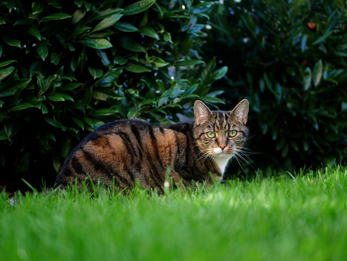 Portrait of a cat lying on grass