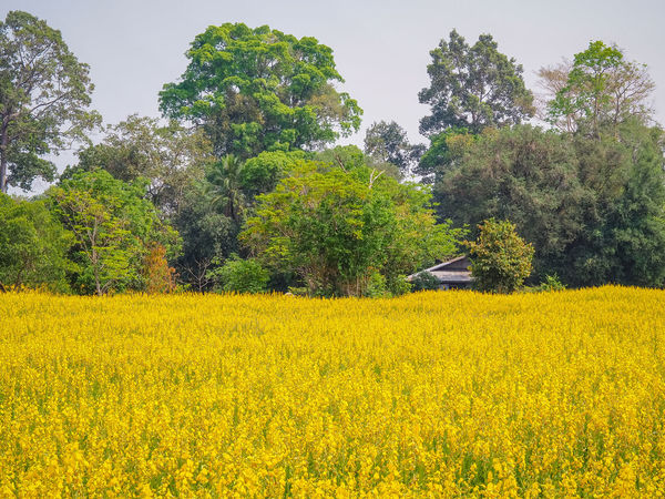 Sunn hemp Farm Beauty In Nature Day Environment Field Flower Flowering Plant Growth Land Landscape Nature Oilseed Rape Outdoors Plant Rural Scene Scenics - Nature Sky Sunn Hemp Tranquil Scene Tranquility Tree Yellow
