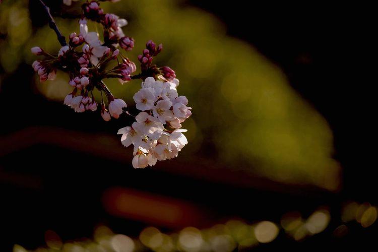 サクラサク Cherry Blossoms ソメイヨシノ Spring Flowers EyeEm Best Shots - Flowers Flowerporn Bokeh EyeEm Nature Lover Light And Shadow http://youtu.be/5XqAF07DHoQ