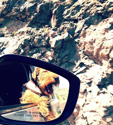 Woooo hooooo! Summer in Texas! Dogs Rugged Beauty Chisos Mountains Big Bend National Park Texas Highway Highwayphotography Dog Dogslife Dogs Of EyeEm Welsh Terrier Mirrorselfie Car Ride  Hot Day Vacation Happy Dog Summer Road Tripping