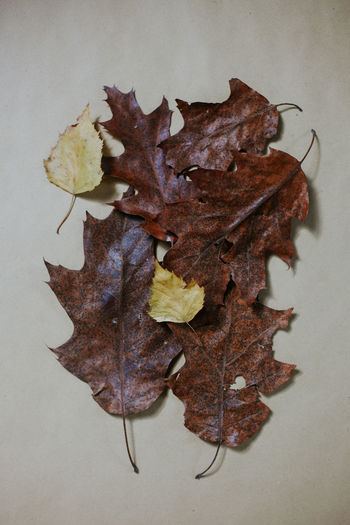 High angle view of maple leaf fallen on white background