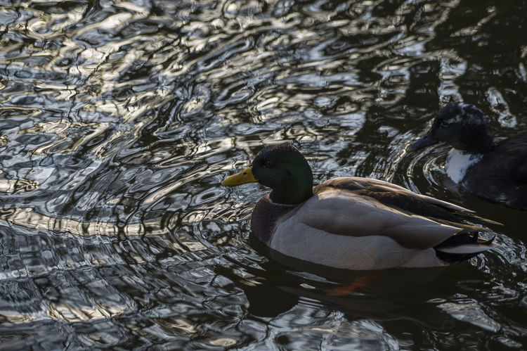 Animal Photography Beautiful Animals  Beauty In Nature Bird Photography Duck Ducks From My Point Of View Lake Lake View Mallard Mallard Duck Mallard Ducks Mallardduck Mallards Nature Nature_collection Nature Photography Nature_collection Stockente Water Reflections