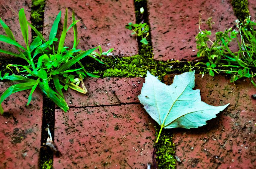 Leaf Outdoors Nature Day Close-up Maple Brick Lane
