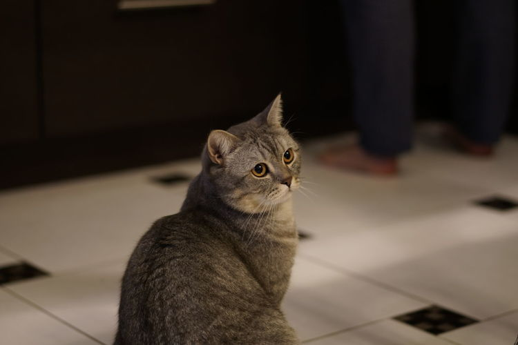 Animal Themes British Shorthair Close-up Day Domestic Animals Domestic Cat Feline Focus On Foreground Indoors  Kids Mammal No People One Animal Pets Tabby Cat