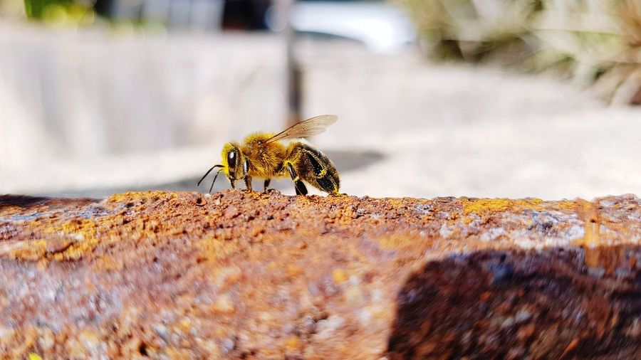 Bee on oxided