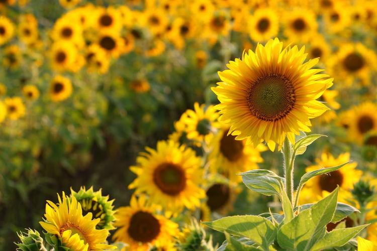 Sunflowers in