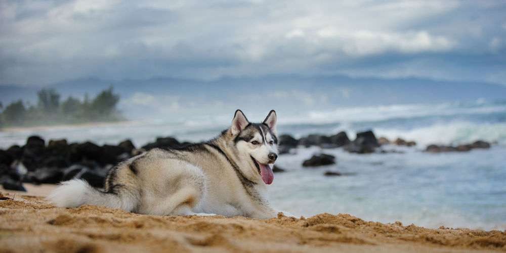Siberian Husky dog outdoor portrait Haleiwa  Siberian Husky Animal Themes Beach Beauty In Nature Canine Color Day Dog Domestic Animals Husky Lying Down Nature No People North Shore One Animal Outdoors Outside Pets Photography Purebred Dog Sea Siberian Sky Water