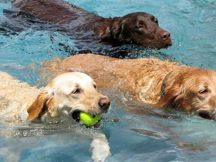Dogs of EyeEm Happy Dogs retriever dogs Water Pets Golden Retriever Swimming Labrador Retriever Outdoors Domestic Animals Swimming Pool Friendship Dogs Up Close