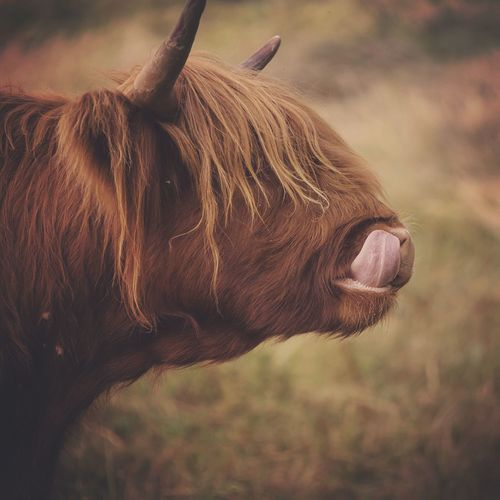 Tongue Coo Cow Highland Cows Highland Cattle Fine Art Photography Nature Photography Cows Beautiful Nature Wildlife Wildlife Photography Naturelovers Nature Nature's Diversities Wildlife & Nature Eyeemphoto