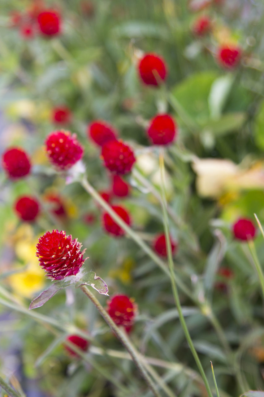 red, berry fruit, freshness, close-up, no people, food, fruit, plant, healthy eating, food and drink, day, selective focus, beauty in nature, growth, nature, focus on foreground, flower, vulnerability, flowering plant, wellbeing, ripe, rowanberry