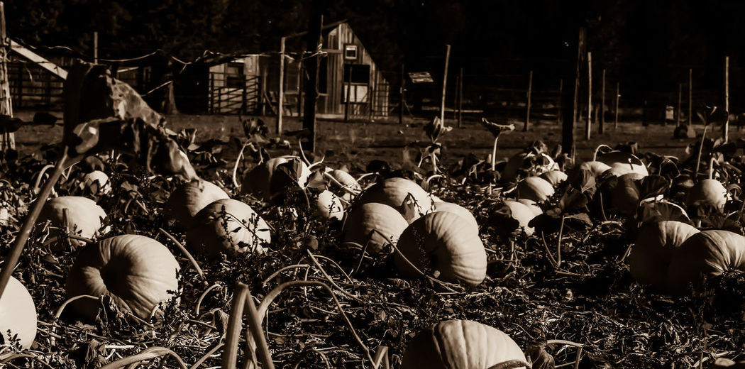 Lake Shastina C.a Diamond Mafia Photography Northern California Beatiful Nature Fall Nature Fall Colors Autumn Fall Collection Autumn 2016 Autumn Collection Fallcolors Fall Leaves Pumkin Carving Pumpkinpatch Pumkin Pumpkinhead Pumpkins Landscape Farmland