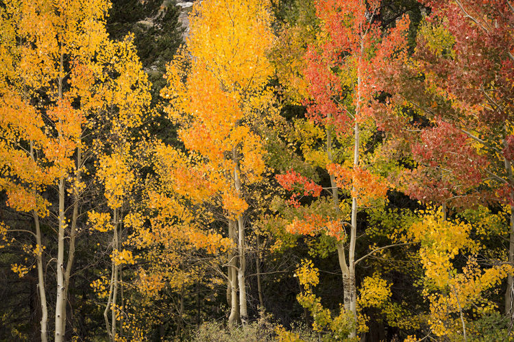 Autumn Landscape Autumn Tree Beauty In Nature No People Yellow Nature Orange Color Scenics - Nature Forest Tranquil Scene Tree Trunk Autumn Collection Fall Aspens In Full Change. Red Color Backround Grove Seasonal California Rock Creek Canyon Eastern Sierras, CA