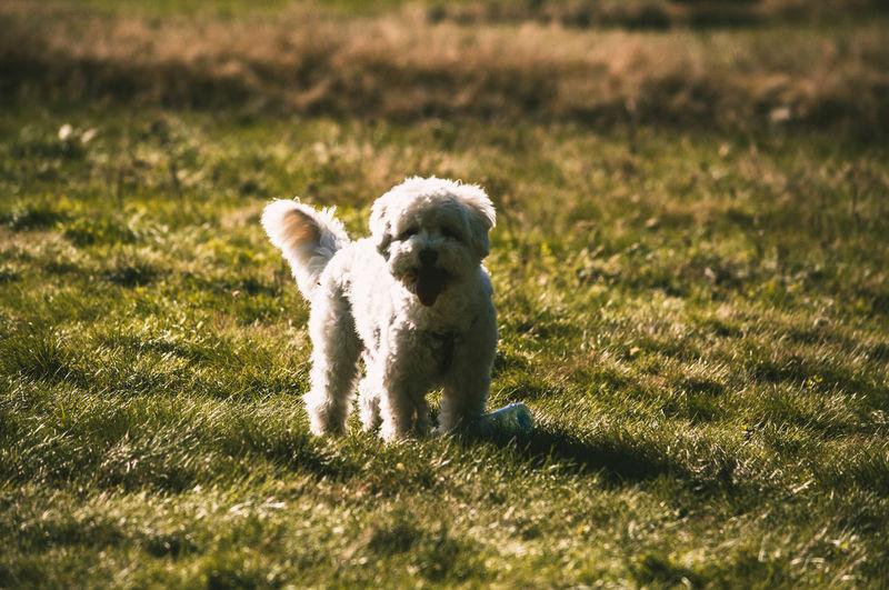 Animal Themes Pets Animal Dog Small No People Grass One Animal Domestic