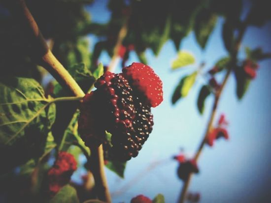Berry Fruit Growth Close-up Food And Drink Focus On Foreground Plant Leaf Freshness No People Nature Day Outdoors Tree Lefka Cyprus Lefka, Cyprus EyeEmNewHere