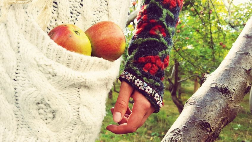 A woman in a cuddly cardigan harvesting apples. Apple Apples Appletree Appletreegarden Apple - Fruit Human Hand Women Outdoors Day Lifestyles Human Body Part Real People One Person Close-up Wool Leisure Activity Wool Sweater Harvest Apple Harvest People Cuffs Autumn Mood Knitted  Woolen Apple Tree Needlecraft Product Fruit Tree