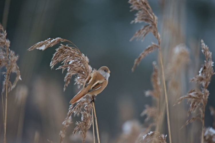 Wintertime Animal Themes Animal Wildlife Animals In The Wild Bearded Reedling Bird Close-up Day Female Focus On Foreground Nature No People One Animal Outdoors Sitting On A Straw Bale Snow Panurus Biarmicus