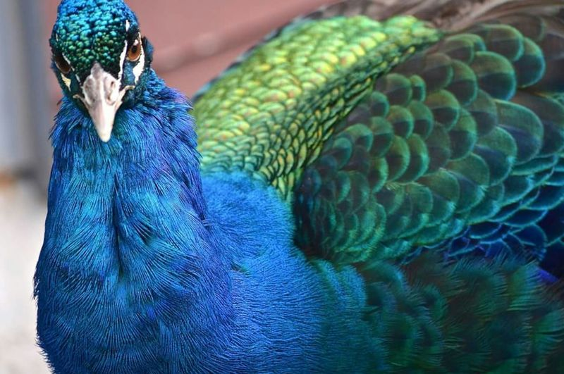 Peacock Colorful Zoo Animals Exotic Feathers Beautiful Animals  Colour Of Life