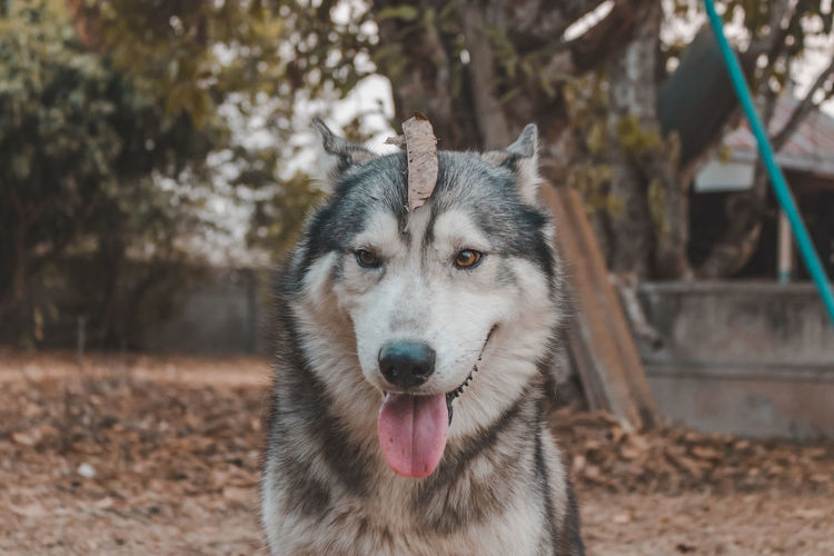Portrait of siberian husky dog.siberian husky is sitting on the ground of grass.it so cute.