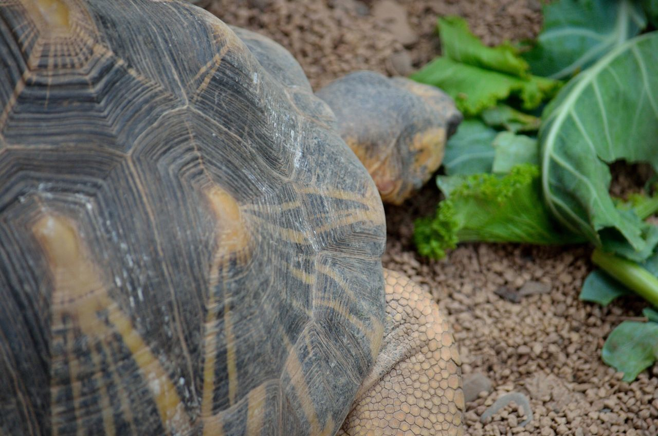 animals in the wild, nature, day, tortoise, outdoors, animal themes, one animal, animal wildlife, no people, tortoise shell, close-up, reptile