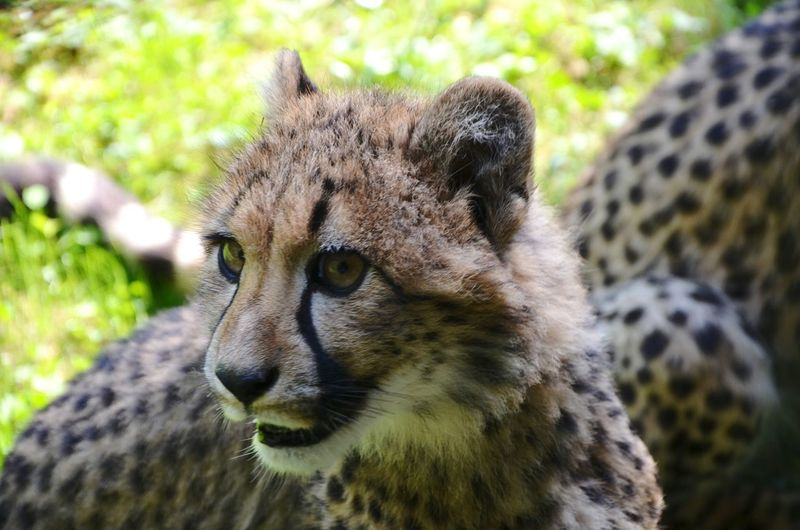 Close-up of a cheetah cub against blurred background