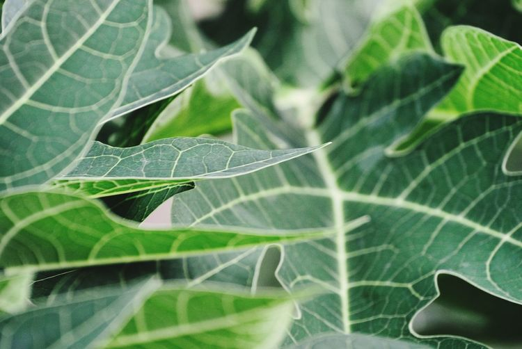 Closeupshot of Papaya Leaf Leafmania