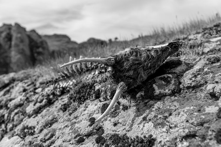 Goat skull with horns lying on rocks covered in lichen. Black and white close up image taken at the Devil Canyon natural phenomenon in Bulgaria, a.k.a. Sheytan Dere, next to Studen Kladenetz dam Bulgarian Nature Death Horns Sheytan Sheytan Dere Sheytandere Bulgaria Close-up Cloud - Sky Day Dead Animal Focus On Foreground Land Mountain Nature No People Non-urban Scene Outdoors Plant Rock Rock - Object Scenics - Nature Selective Focus Skull Sky Solid Textured  Tranquil Scene Tranquility