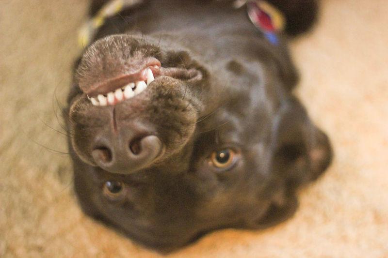 Cholocate Lab FUNNY ANIMALS Animal Themes Dog Domestic Animals Funny Animals Funny Faces One Animal Pets Smile Teeth