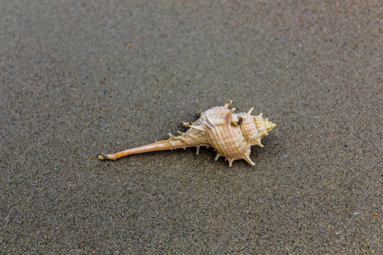 Conch shell on