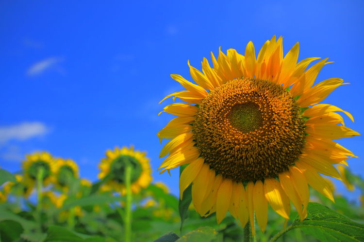 Close-up of sunflower on field against blue sky