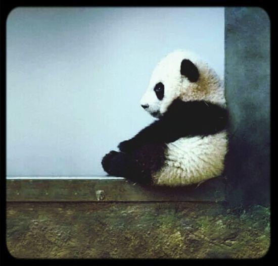 Pandas♥ Cute Pets