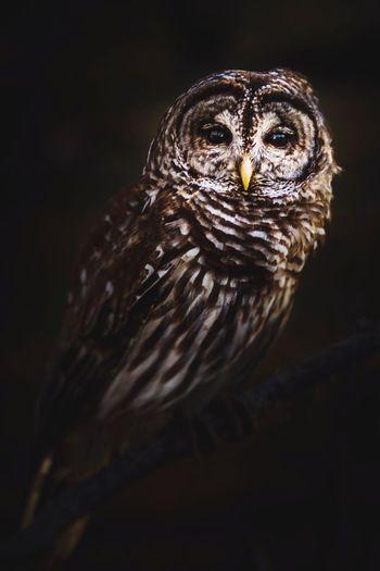 Owl One Animal Bird Animal Themes Animals In The Wild No People Close-up Black Background Perching Bird Of Prey Night Animal Wildlife Nature Outdoors Domestic Animals