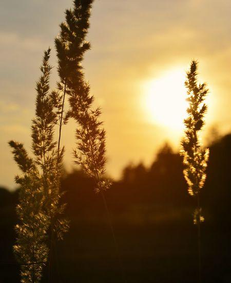 Field Orange Sunset Sunset Silhouettes Sun Nature Summer Photography Memories Golden Gold Sky