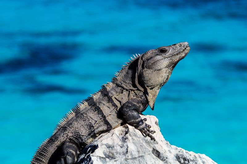 Marine iguana on rock against sea