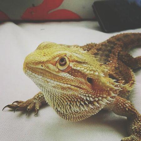 Lizard Tetzuo I Love