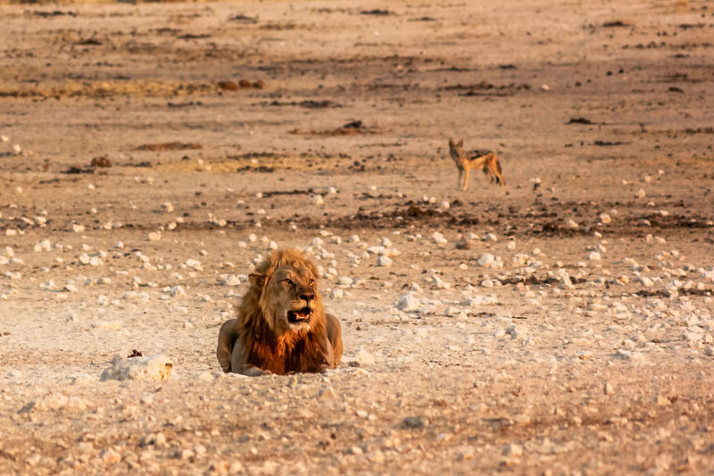 Lion On Ground