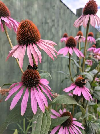 Echinacea Echinacea Flower Alternative Medicine Medicinal Plant Bees And Flowers Nature Photography English Garden Cottage Garden  English Countryside English Countryside Flowers