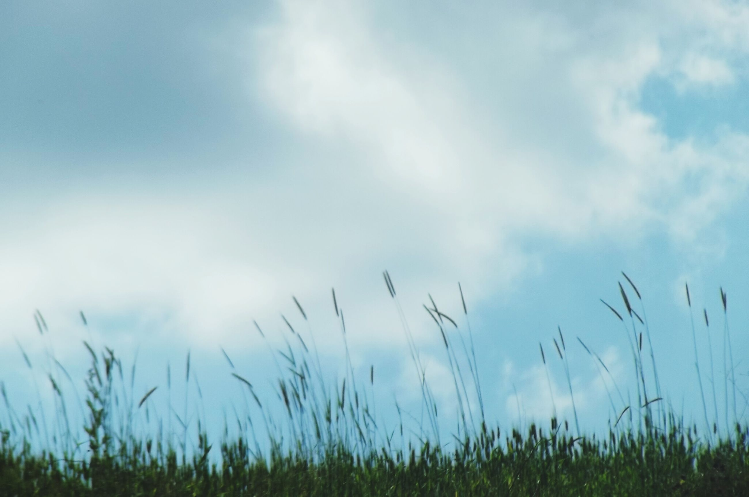 grass, sky, growth, nature, low angle view, tranquility, plant, tranquil scene, scenics, beauty in nature, cloud, field, blue, non-urban scene, cloud - sky, day, green, focus on foreground, outdoors, green color, countryside, surface level, atmospheric mood, remote, solitude, grass area, stalk, no people, uncultivated, reed
