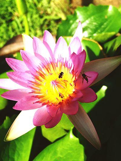 แมลง & ดอกบัว