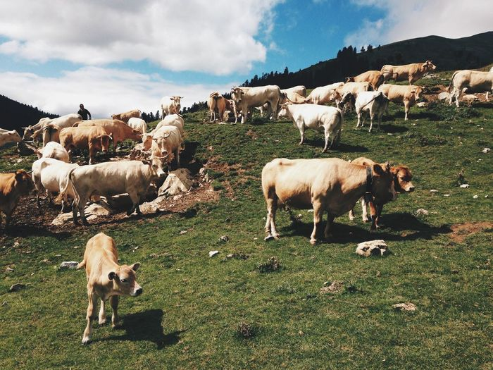 Cows on grassy field against sky