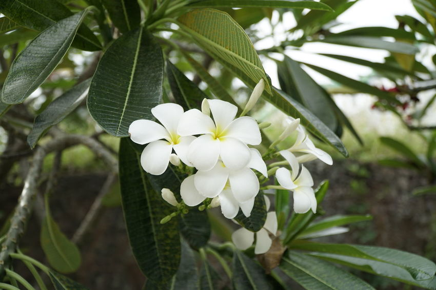 Beauty In Nature Blooming Branch Close-up Day Flower Flower Head Focus On Foreground Fragility Frangipani Freshness Green Color Growth Leaf Nature No People Outdoors Periwinkle Petal Plant Tree White Color