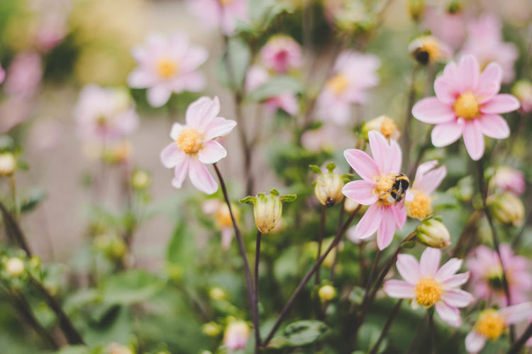 Bee in flowers Beauty In Nature Blooming Close-up Cosmos Flower Day Flower Flower Head Fragility Freshness Growth Nature No People Outdoors Petal Plant