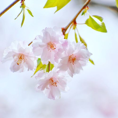 Flower Blossom Springtime Flower Head Fragility Petal Botany Beauty In Nature Branch Freshness Nature Close-up Stamen No People Growth Tree White Background Plant Tranquility Day