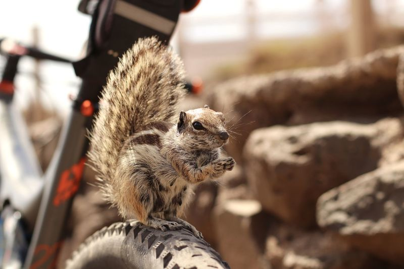Animal Themes Animal Wildlife Animals In The Wild Aww Awww So Cute <3 Awwwwww!!!!!!!!  Bike Ride Canary Islands Close-up Day Eichhörnchen Fahrradtour Focus On Foreground Fuerte Fuerteventura Kanarische Inseln MTB MTB Biking Outdoors Squirrel Squirrel Of Fuerteventura Squirrel On A Bike Streifenhörnchen Streifenhörnchen Auf Einem Fahrrad Streifenhörnchen Auf Fuerteventura EyeEm Selects Let's Go. Together. Sommergefühle Summer Exploratorium Holiday Moments A New Perspective On Life It's About The Journey Capture Tomorrow