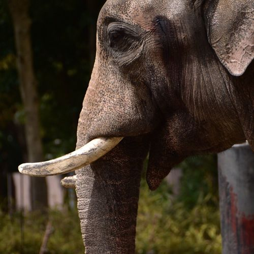 (null)Snapshot Japan Snapshots Nature Photography Zoo Elephant ズーラシア Yokohama