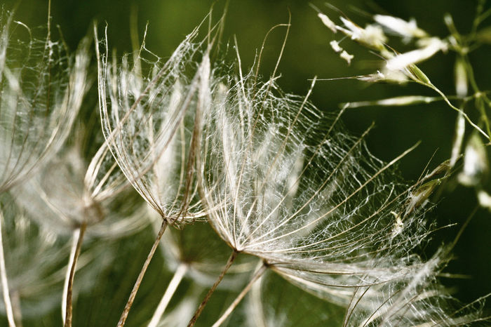 Blowball Close Up Dandelion Fagilit Meadow Salsify Nature Pappus Plant Seed Shepard's Clock Salsify Tragopogon Pratensis