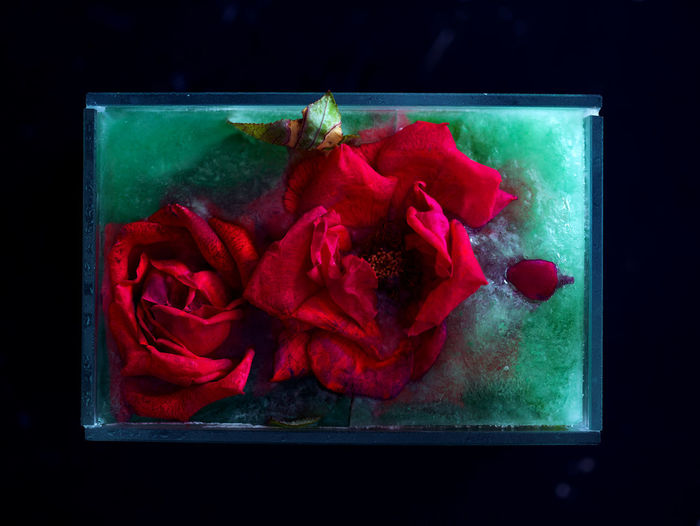 Rosé Rose - Flower Flower Close-up Flowering Plant Red Ice Indoors  No People Nature